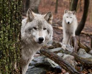 Wolves In New Jersey - New Gallery By Jim DeLillo